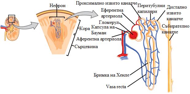 структура на бъбреците