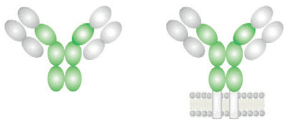 структура на имуноглобулин D