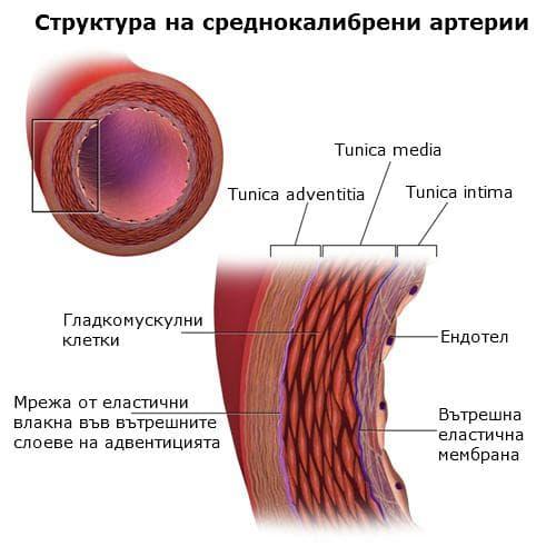 Структура на артериална стена