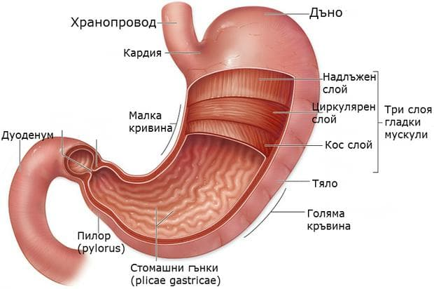 Структура на стомашната стена