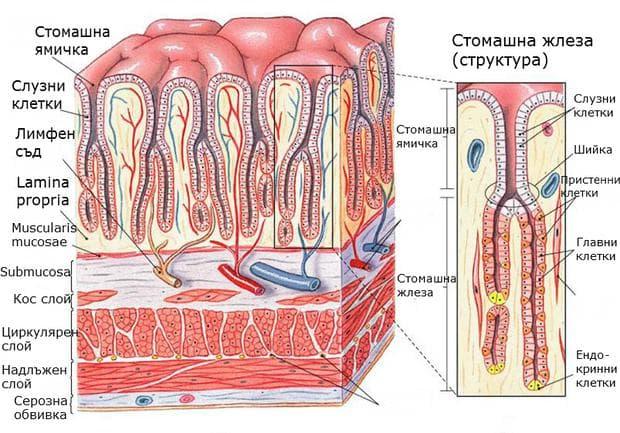 Структура на стомашната лигавица и стомашна жлеза