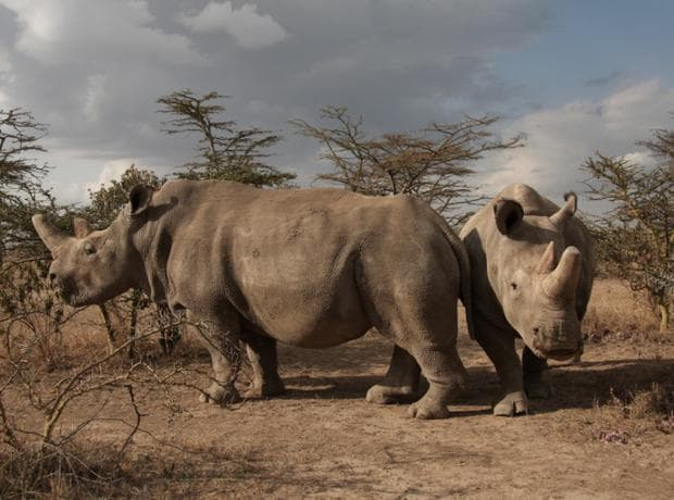 Найдин и Фату - судански бели носорози
