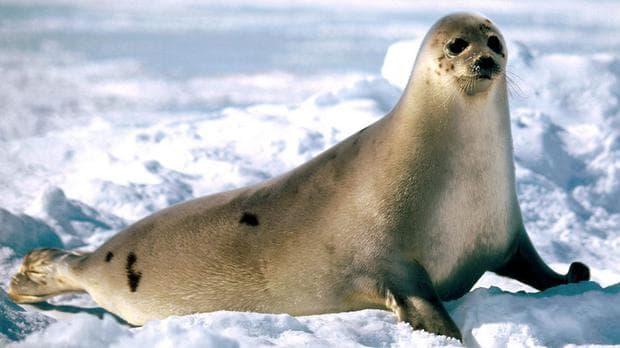 Гренландски тюлен