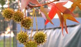 плод на амброво дърво