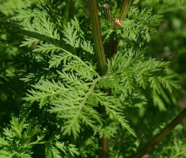 стъбло и листа на едногодишен пелин