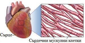 сърдечен мускул