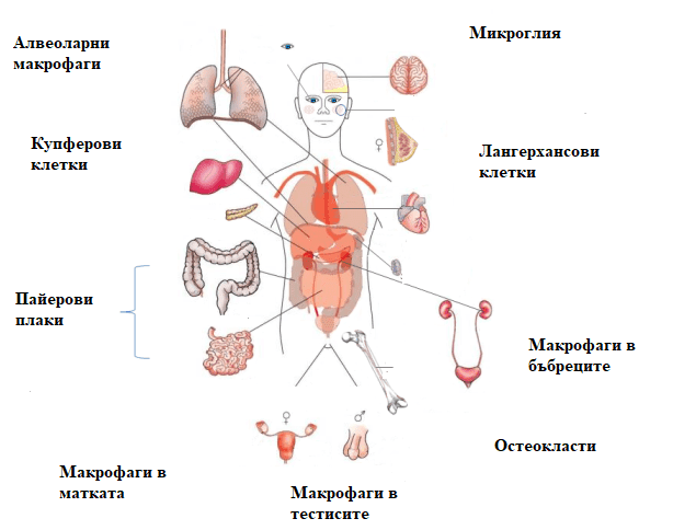 тъканни макрофаги