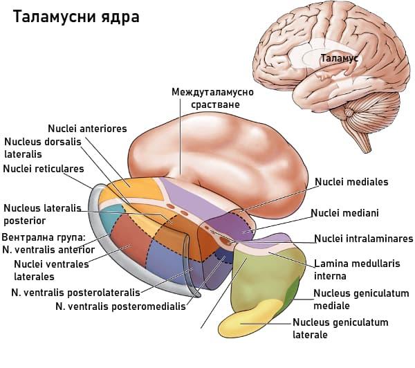 Таламусни ядра