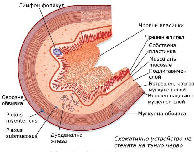 Устройство на стената на тънко черво