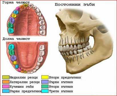 Видове зъби