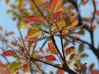 младо растение бибитаки