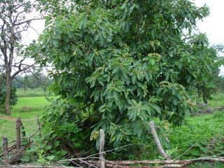 дърво харитаки