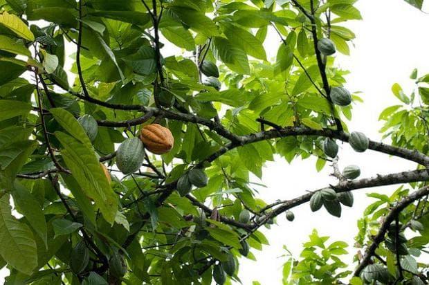 какаово дърво