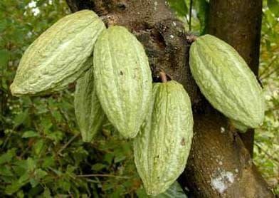 зелени плодове на какаово дърво