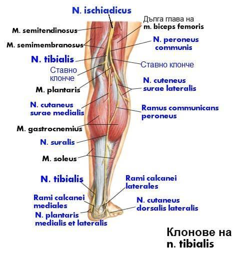 Тибиален нерв