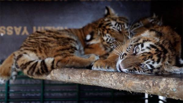 Тигърчета