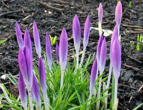 Томасиниевият минзухар се развива особено добре в райони със студена зима и горещо лято