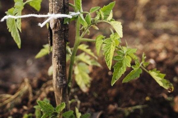 Торенето или мулчирането на почвата помагат за отглеждане на по-здрави домати.