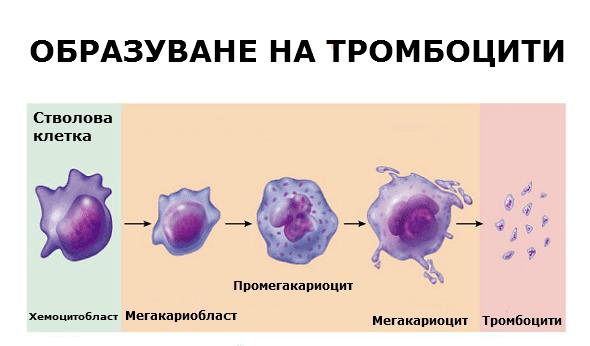 Образуване на тромбоцити в костния мозък