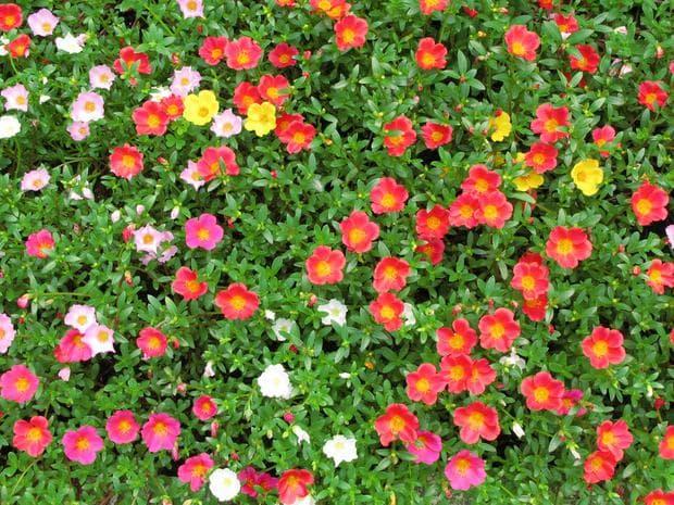 тученица цветове