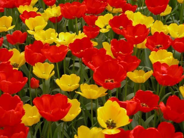 жълти и червени лалета