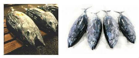 Развалена риба туна