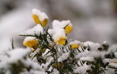 цъфтящ прещип през зимата