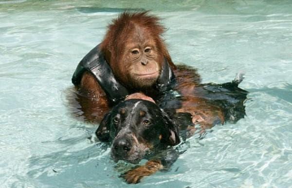 Горила и куче
