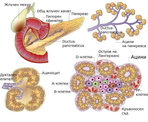 Устройство на задстомашна жлеза - екзокринна и ендокринна част