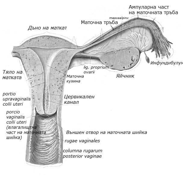 Анатомично устройство на матка и влагалище