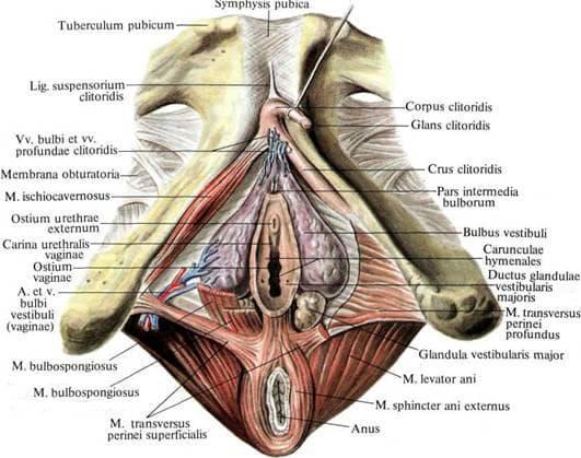 Устройство на външни женски полови органи