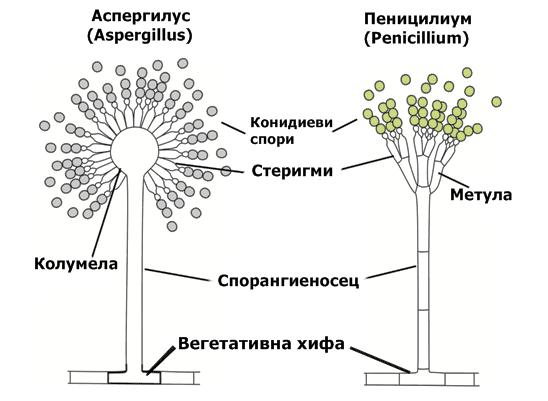Устройство на гъби Аспергилус и Пеницилиум