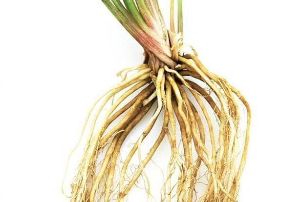 корени на валериана