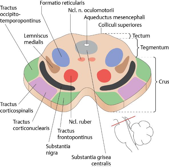 Вътрешен сроеж на среден мозък