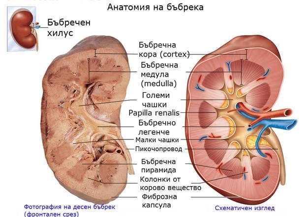 Вътрешна анатомия на бъбрек