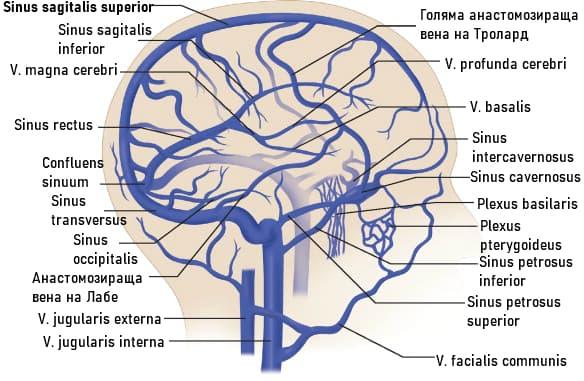 Вени на мозъка