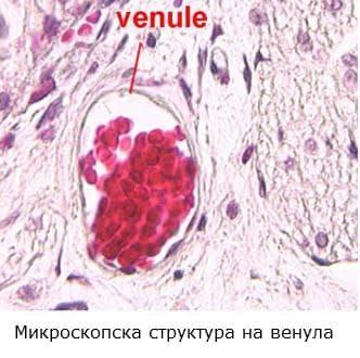 Венула