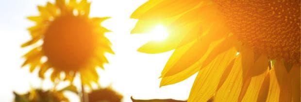 слънчогледи  слънце