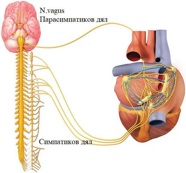 екстракардиална нервна регулация на сърдечната дейност