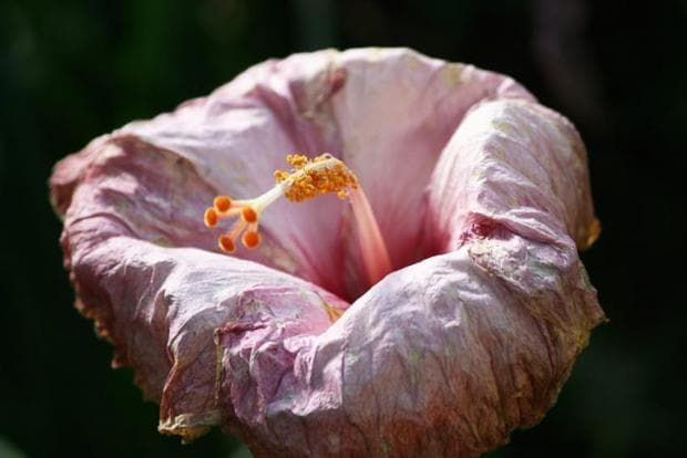 повехнало цвете