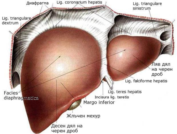Серозни връзки на черния дроб