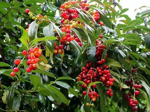 лавровишня плод