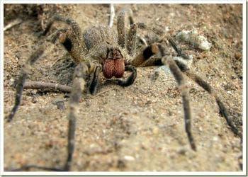 Бразилски скитащ паяк