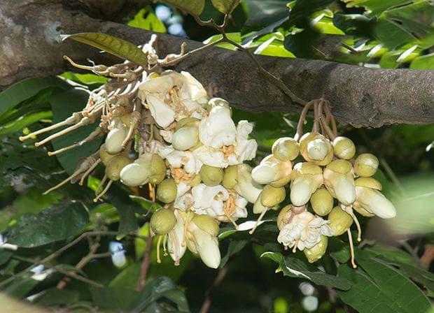 цветове на дуриан