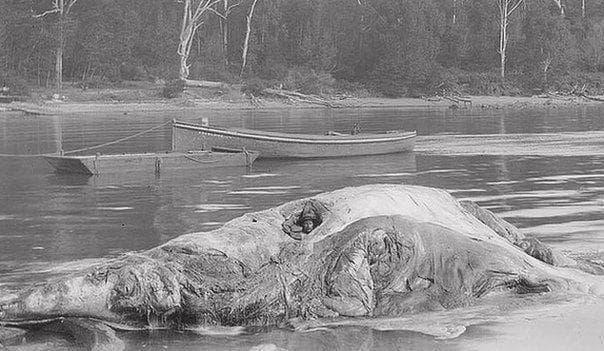 Австралиец, полегнал в трупа на кит
