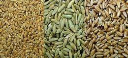 пшеница ръж тритикале