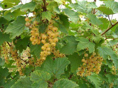 плодове на бял касис
