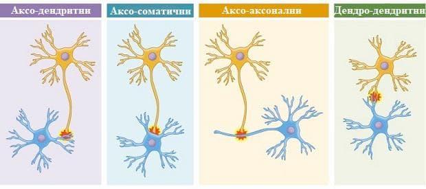 междуневронни синапси