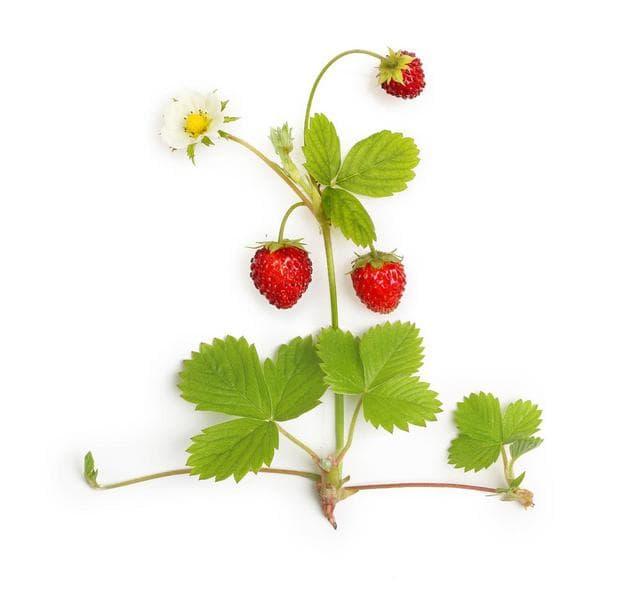дива ягода