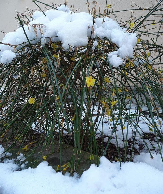 храст зимен жасмин